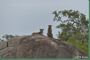 leoparden-im-yala-nationalpark