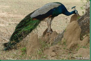 pfau-im-yala-nationalpark